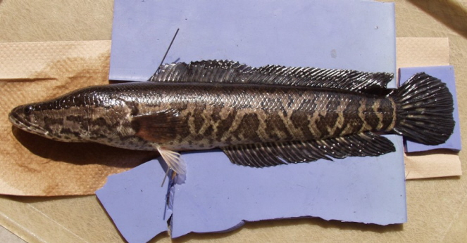 snakehead fish a non native species Northern snakehead fish and extend the range of non-native species from tropical and waterways and always wash their catch at home.
